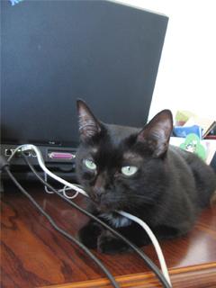 ネットショップの猫ノア