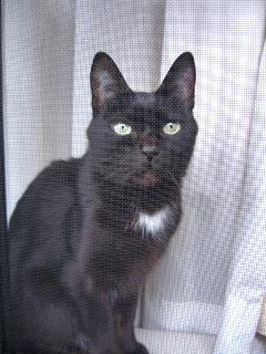 ベランダを見る猫ノア