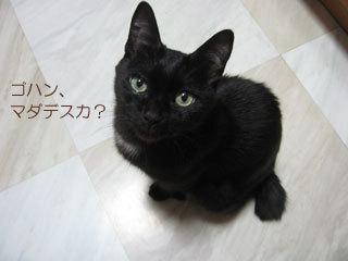 ご飯ほしい猫ノア