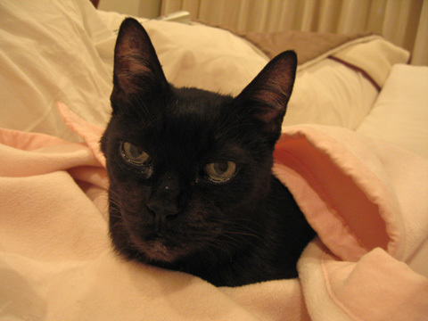 猫ノアとピンクの毛布