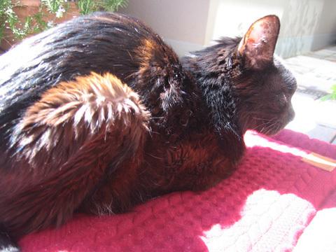 猫ノアの日向ぼっこ