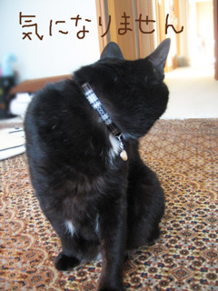 猫ノアとおしゃれ首輪