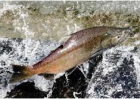 カナダの天然鮭