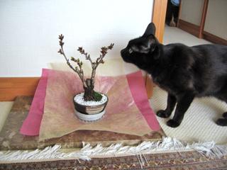 猫ノアと桜