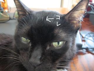 猫ノアのおでこ