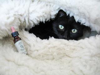フラワーレメディと猫ノア